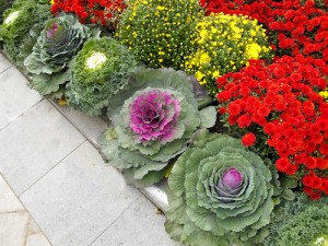 Fall Landscaping with Mums and Ornamental